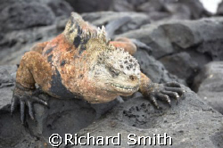 Huge male Marine Iguana sunning himself on rocks in the G... by Richard Smith 